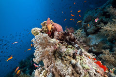 Marine life in the Red Sea. Royalty Free Stock Photo