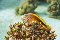 Marine Life in the Red Sea. Egypt Royalty Free Stock Images