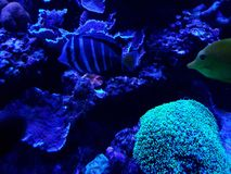 Marine life in a saltwater aquarium. Nature and fauna, underwater view, sea and ocean ecosystem stock photo