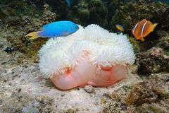 Marine life sea anemone and colorful tropical fish. Marine life, a Magnificent sea anemone, Heteractis magnifica, with colorful tropical fish, Bora Bora, Pacific Stock Photos