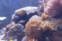 Sea anemone Condylactis gigantea underwater in the sea. Marine life sea anemone Condylactis gigantea underwater in the sea royalty free stock photography