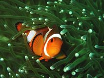 Clown fish or the anemone fish. The beauty of underwater world diving in Sabah, Borneo. Marine life, or sea life or ocean life, is the plants, animals and other royalty free stock photo