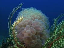 Closeup with marble soft in underwater world diving in Sabah, Borneo. stock photos