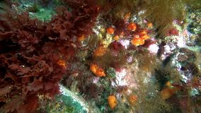 Marine life on seabed of Barents Sea. Diving on background of blue lagoon undewater Arctic Ocean stock video footage
