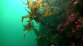 Marine life on seabed of Barents Sea. Diving on background of blue lagoon undewater Arctic Ocean stock footage