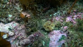 Marine life on seabed of Barents Sea. Diving on background of blue lagoon undewater Arctic Ocean stock video