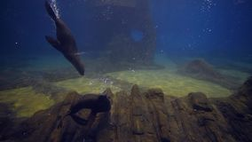 Marine life, seals swimming underwater and playing in large aquarium stock video footage
