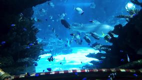 Marine life of small fish and big sharks behind glass of big aquarium stock footage