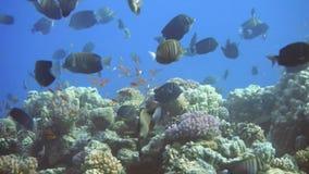 Marine life on tropic reef. School of angel fish. Dive safari Egypt stock footage