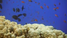 Marine life on tropic reef. School of angel fish and glass fish. Marine life on tropic reef. School of angel fish. Dive safari Egypt stock video footage