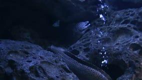 Marine Life In Urban Aquarium - Moray Eels stock video