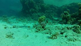 Marine life. Video filmed at a depth of 10 meters of a stationary  camera. Underwater life in the Red sea stock video