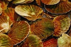 Marine mussels Stock Image