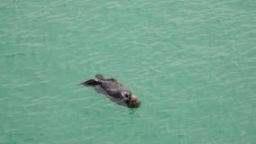 California Carmel, marine otter floats on its back stock video