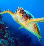 Marine pinnipeds turtle Royalty Free Stock Photos