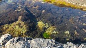 Marine plants on the rocks stock video