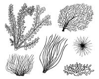 Marine plants seaweed. vegetable life and food for fish. engraved hand drawn in old sketch, vintage style. nautical or. Sea greens, monster or fish. animals in Stock Photography