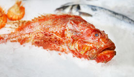 Marine red fish Stock Photography
