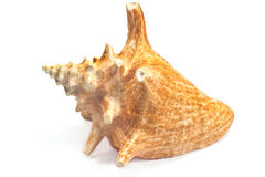 Marine sea shell Royalty Free Stock Photography