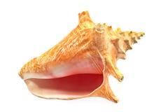 Marine sea shell Royalty Free Stock Photography