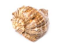Marine Sea Shell Isolated Royalty Free Stock Photo