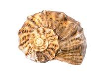 Marine Sea Shell Isolated Stock Photography