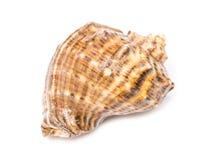 Marine Sea Shell Isolated Royalty Free Stock Photography