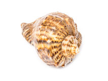 Marine Sea Shell Isolated Royalty Free Stock Photos