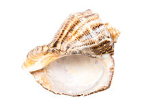 Marine Sea Shell Isolated Stock Images