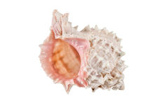 Marine Sea Shell. Isolated on white background. Royalty Free Stock Photos