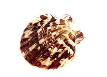 Anguipectun superbus. Marine sea shell in a studio setting against a white background Royalty Free Stock Images