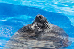 Marine seal taking  a breath in a pool - close up Stock Photos