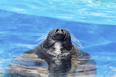 Marine seal taking  a breath in a pool - close up Royalty Free Stock Photography