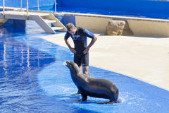 Marine Seal  with a  trainer Stock Photo