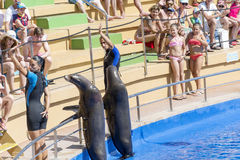Marine Seals  with a  trainers Royalty Free Stock Photo