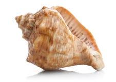 Marine seashell. On white background Royalty Free Stock Photography