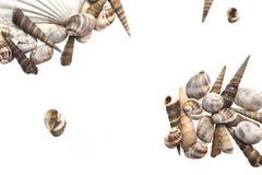 Marine Seashell isolat Stock Foto's