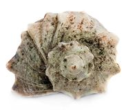 Marine seashell isolated on white background Royalty Free Stock Photos