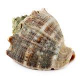 Marine seashell isolated on white background Royalty Free Stock Image