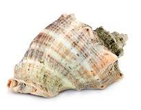 Marine seashell isolated on white background Royalty Free Stock Photography