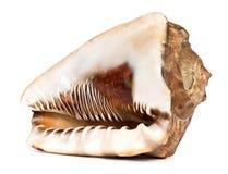 Marine seashell isolated on white background Royalty Free Stock Images