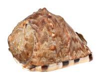 Marine seashell isolated on white background Stock Photography