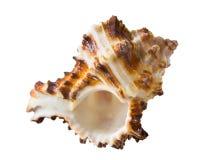 Marine shell Royalty Free Stock Photography