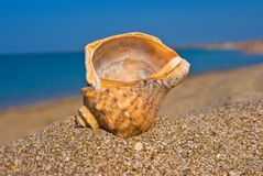 Marine shell Stock Image