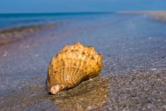 Marine shell Royalty Free Stock Photo