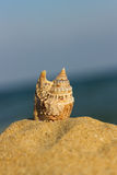 Marine shell on the sand Stock Photography