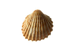 Marine shell Royalty Free Stock Images