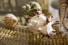 Marine shells Royalty Free Stock Photography