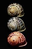 Marine shells. On black background - copy space Stock Image