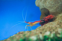 Marine shrimp Lysmata amboinensis (Cleaner Shrimp). Saltwater animal royalty free stock photos